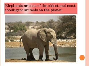 Elephants are one of the oldest and most intelligent animals on the planet.
