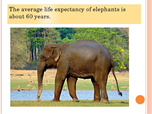 The average life expectancy of elephants is about 60 years.