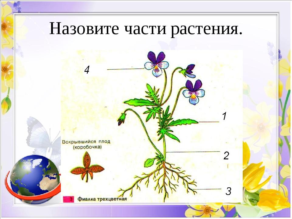 Назовите части растения.
