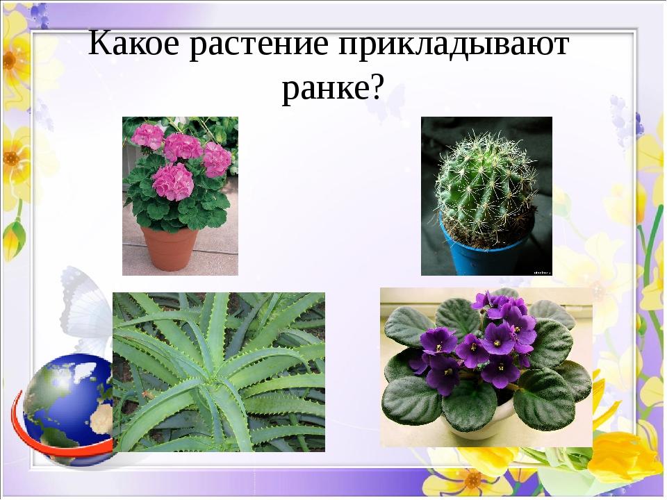 Какое растение прикладывают ранке?