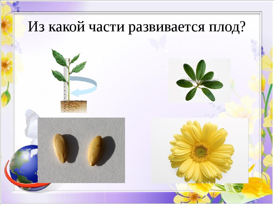 Из какой части развивается плод?