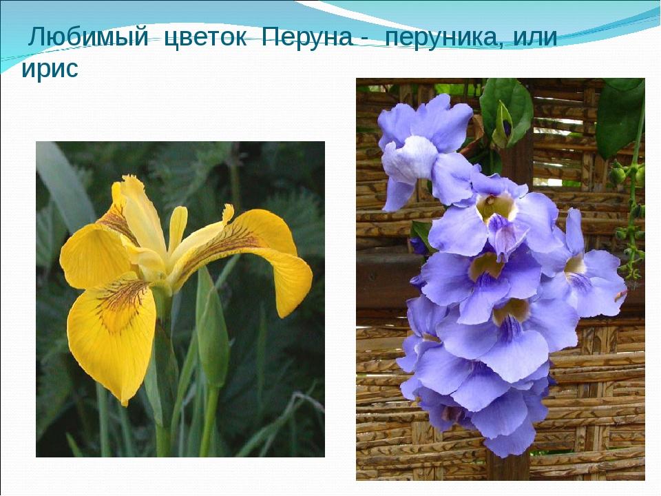 Любимый цветок Перуна - перуника, или ирис