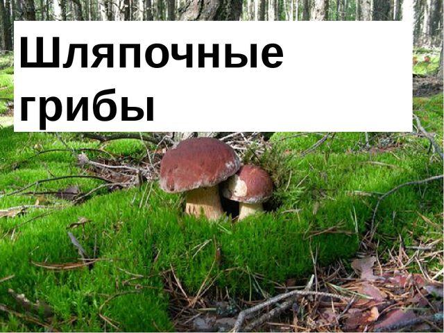 Шляпочные грибы. Шляпочные грибы