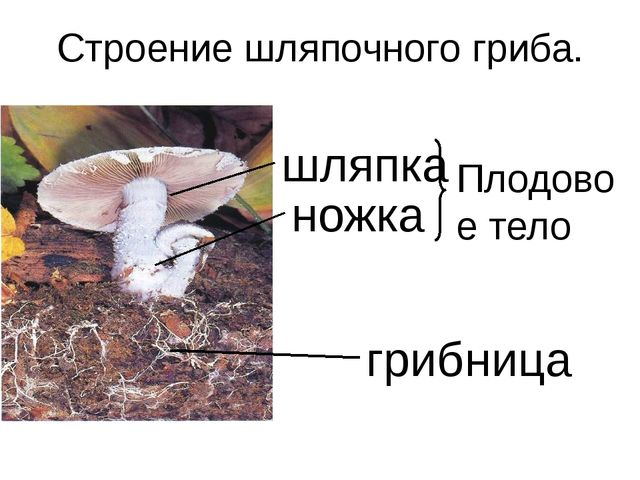 Строение шляпочного гриба. шляпка ножка грибница Плодовое тело