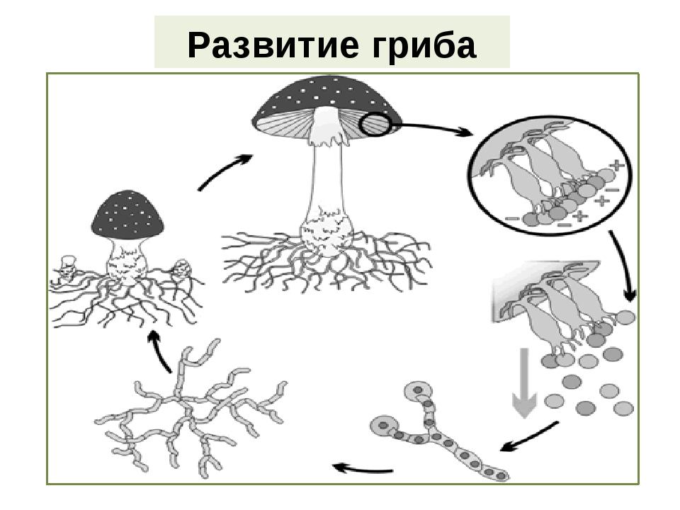 Развитие гриба