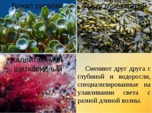 Бокал русалки Фукус пузырчатый Каллитамнион щитковидный Сменяют друг друга с