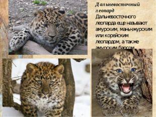 Дальневосточный леопард Дальневосточного леопарда еще называют амурским, мань