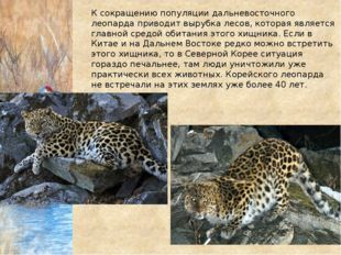К сокращению популяции дальневосточного леопарда приводит вырубка лесов, кото