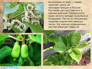 Актинидия острая — самая крупная лиана из произрастающих в России. Растение р