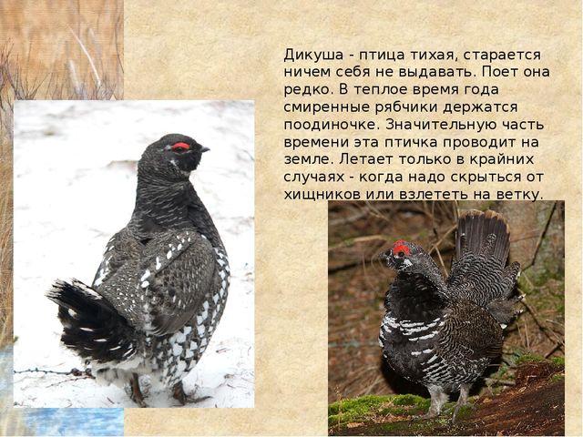 Дикуша - птица тихая, старается ничем себя не выдавать. Поет она редко. В теп...