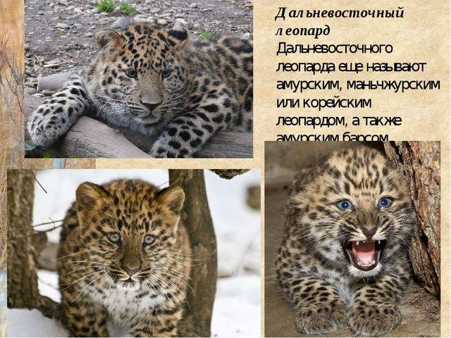 Дальневосточный леопард Дальневосточного леопарда еще называют амурским, мань...