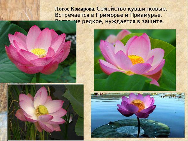 Лотос Комарова. Семейство кувшинковые. Встречается в Приморье и Приамурье. Ра...