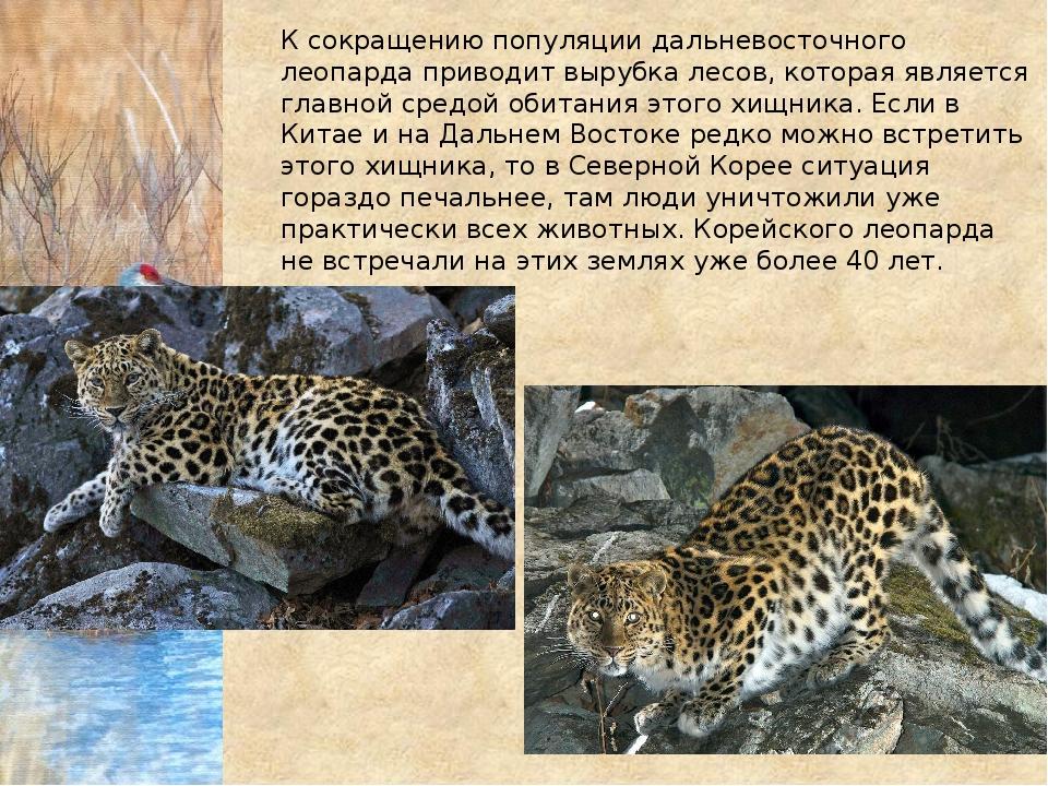 К сокращению популяции дальневосточного леопарда приводит вырубка лесов, кото...