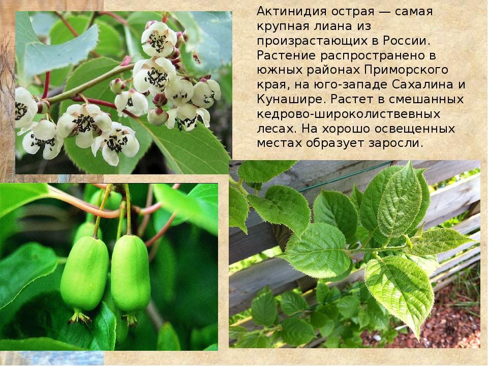 Актинидия острая — самая крупная лиана из произрастающих в России. Растение р...