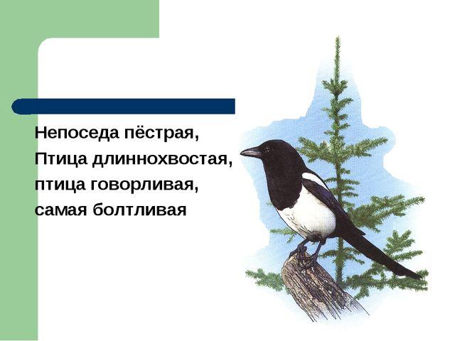 Непоседа пёстрая, Птица длиннохвостая, птица говорливая, самая болтливая