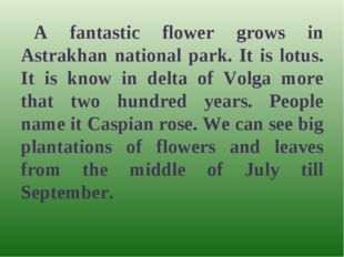 A fantastic flower grows in Astrakhan national park. It is lotus. It is know