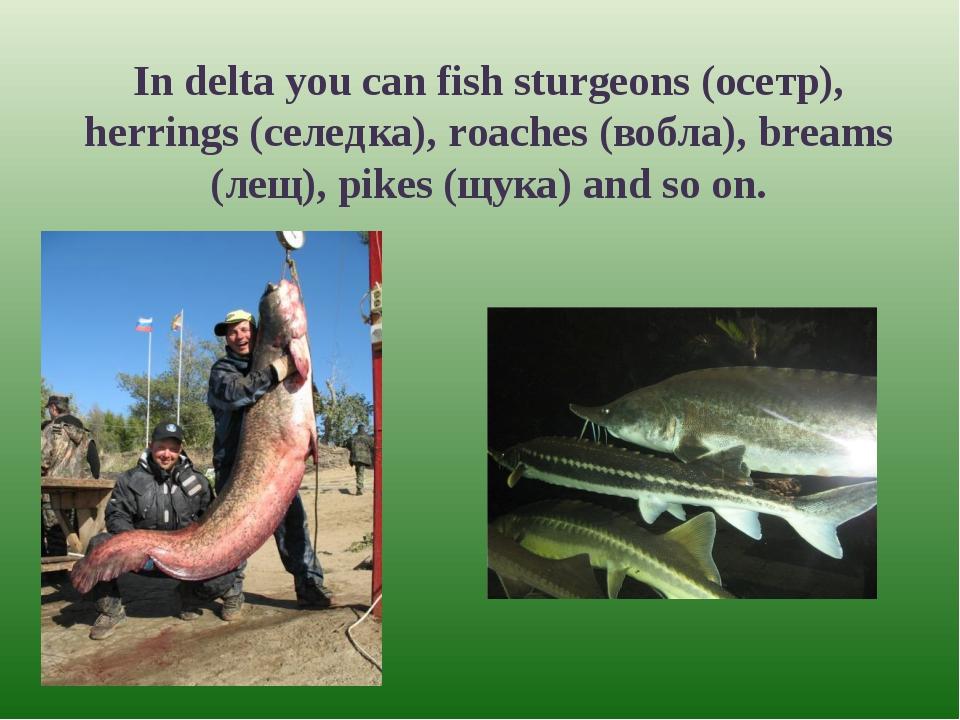 In delta you can fish sturgeons (осетр), herrings (селедка), roaches (вобла),...