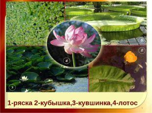 11.11.16 http://aida.ucoz.ru 1-ряска 2-кубышка,3-кувшинка,4-лотос