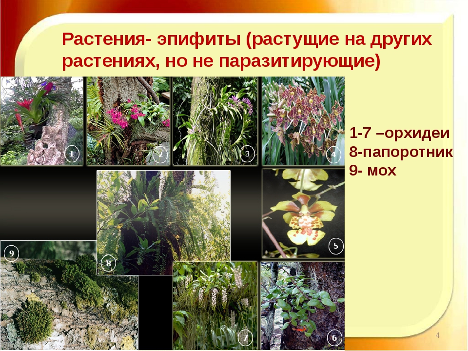 11.11.16 http://aida.ucoz.ru Растения- эпифиты (растущие на других растениях,...