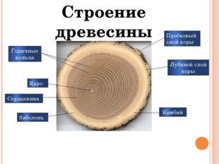 Пробковый слой коры Лубяной слой коры Камбий Годичные кольца Ядро Сердцевина