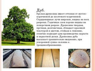 Дуб. Зрелая древесина имеет оттенки от светло-коричневой до желтовато-коричн