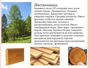 Лиственница. Занимает около 2/3 площадей всех лесов нашей страны. Произрастае