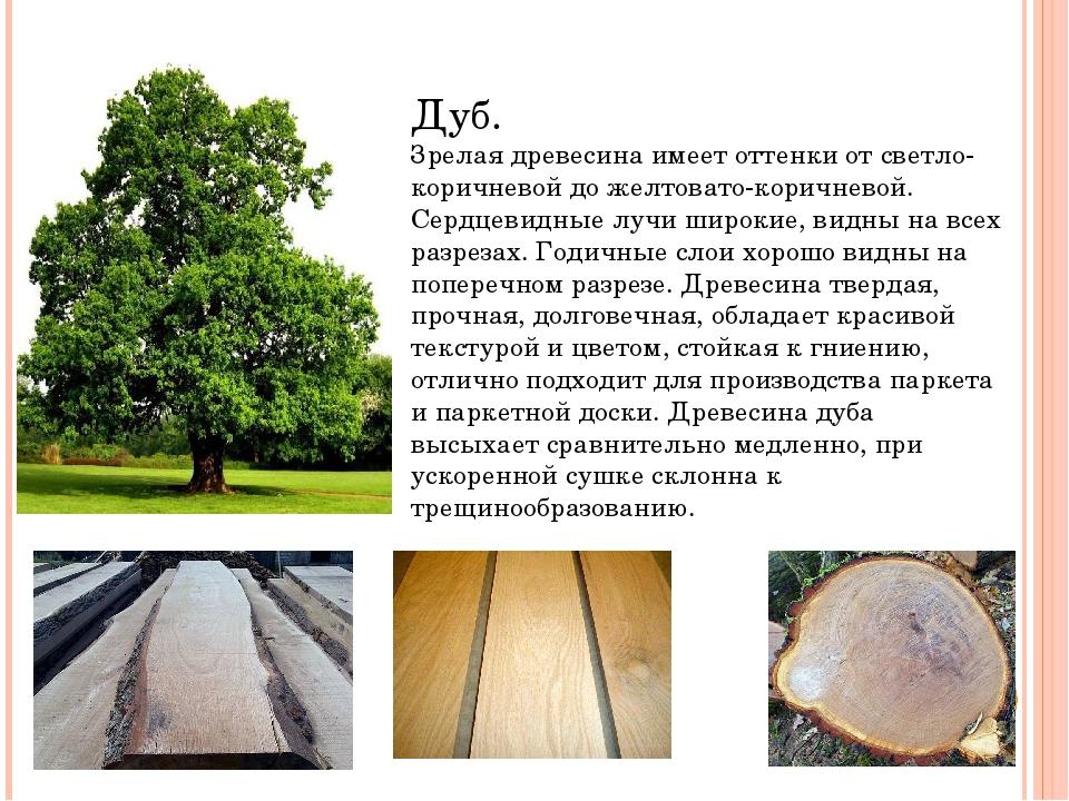 Дуб. Зрелая древесина имеет оттенки от светло-коричневой до желтовато-коричн...