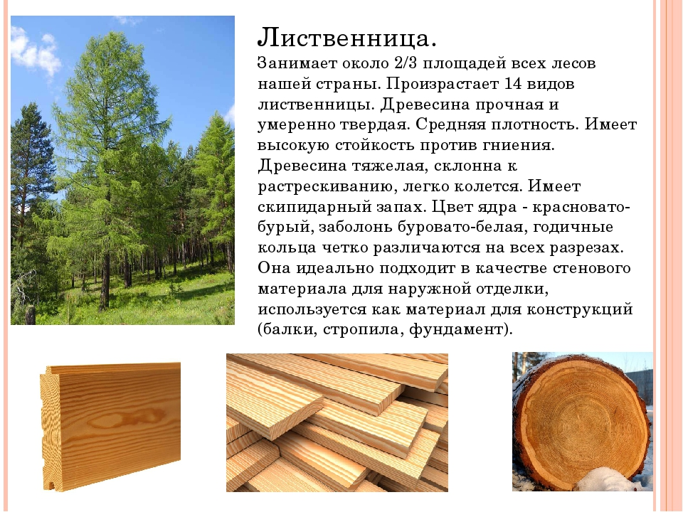 Лиственница. Занимает около 2/3 площадей всех лесов нашей страны. Произрастае...