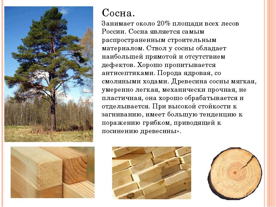 Сосна. Занимает около 20% площади всех лесов России. Сосна является самым рас...
