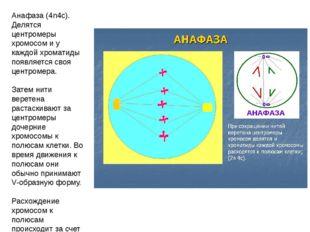 Анафаза (4n4c). Делятся центромеры хромосом и у каждой хроматиды появляется с