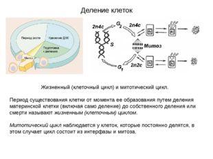 Деление клеток Жизненный (клеточный цикл) и митотический цикл. Период существ