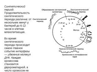 Синтетический период. Продолжительность синтетического периода различна: от н