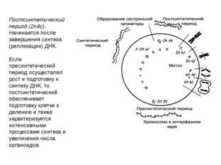 Постсинтетический период (2n4c). Начинается после завершения синтеза (реплика