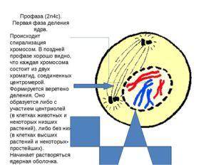 Профаза (2n4c). Первая фаза деления ядра. Происходит спирализация хромосом. В