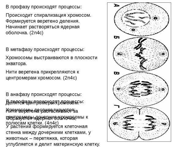 В профазу происходят процессы: Происходит спирализация хромосом. Формируется...