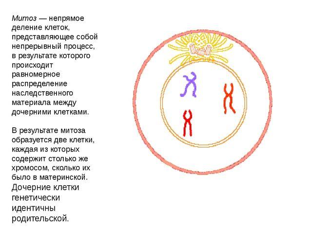 Митоз — непрямое деление клеток, представляющее собой непрерывный процесс, в...
