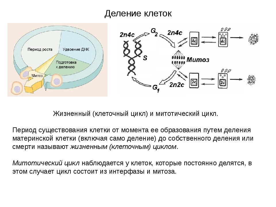 Деление клеток Жизненный (клеточный цикл) и митотический цикл. Период существ...