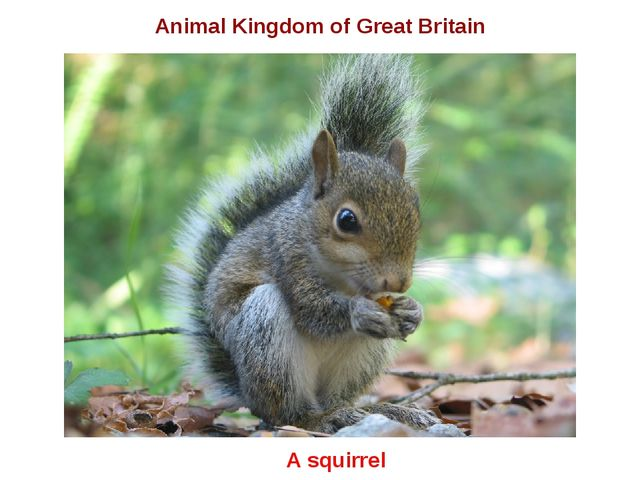 A squirrel Animal Kingdom of Great Britain