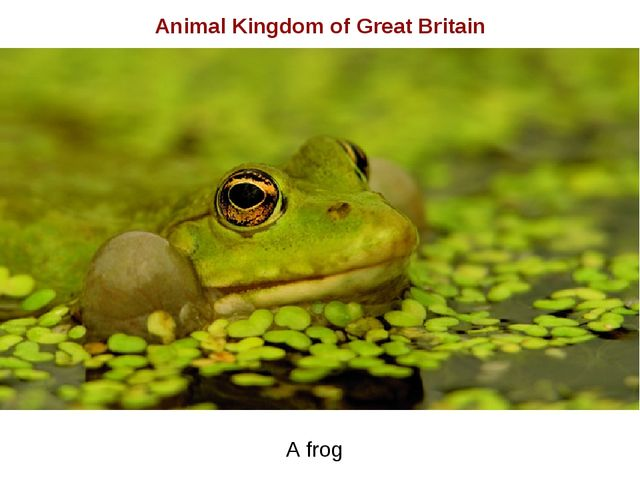 Animal Kingdom of Great Britain A frog
