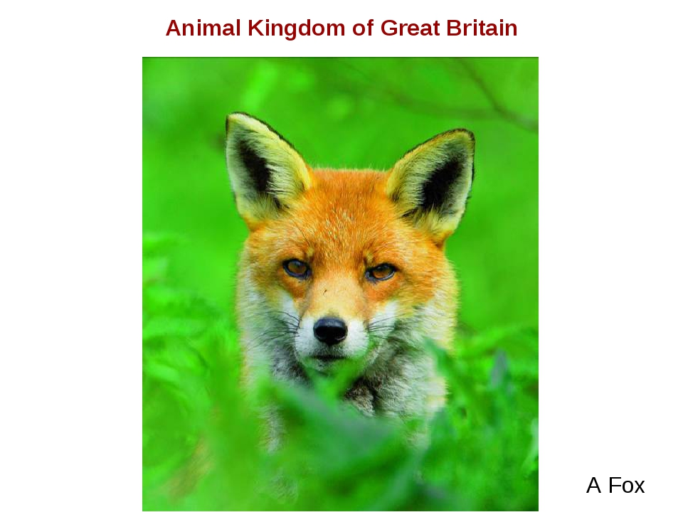 A Fox Animal Kingdom of Great Britain