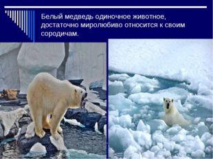 Белый медведь одиночное животное, достаточно миролюбиво относится к своим сор