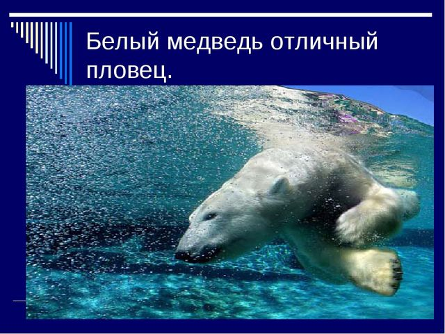 Белый медведь отличный пловец.