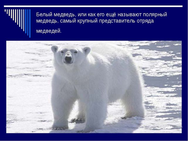 Белый медведь, или как его ещё называют полярный медведь, самый крупный предс...