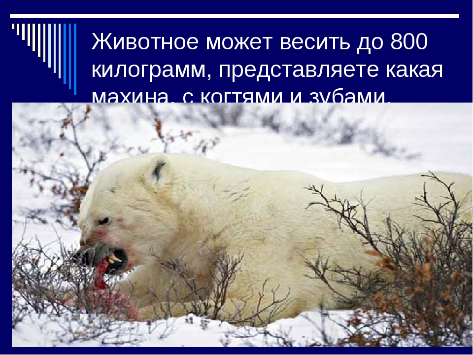 Животное может весить до 800 килограмм, представляете какая махина, с когтями...