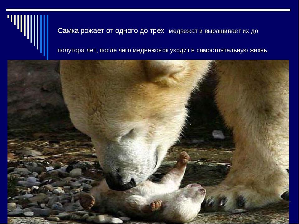 Самка рожает от одного до трёх медвежат и выращивает их до полутора лет, посл...