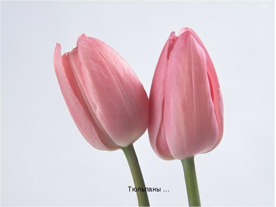 * Тюльпаны …