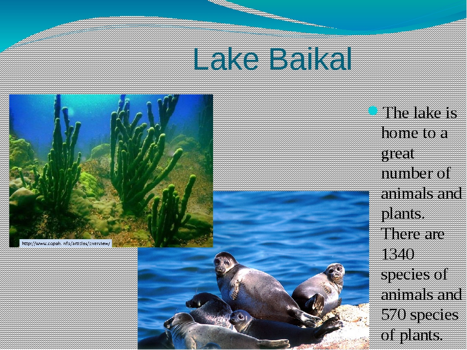 Lake Baikal The lake is home to a great number of animals and plants. There...