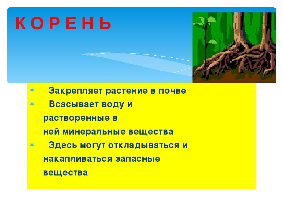 К О Р Е Н Ь Закрепляет растение в почве Всасывает воду и растворенные в ней м...