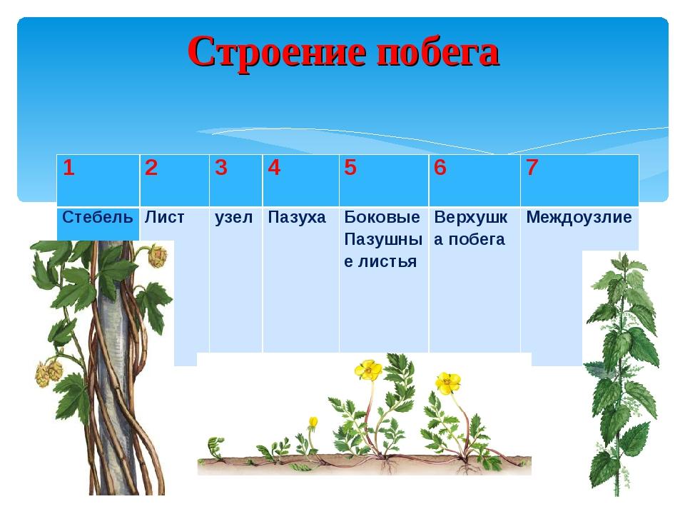 Строение побега 1234567 Стебель Лист узелПазуха Боковые Пазушные ли...