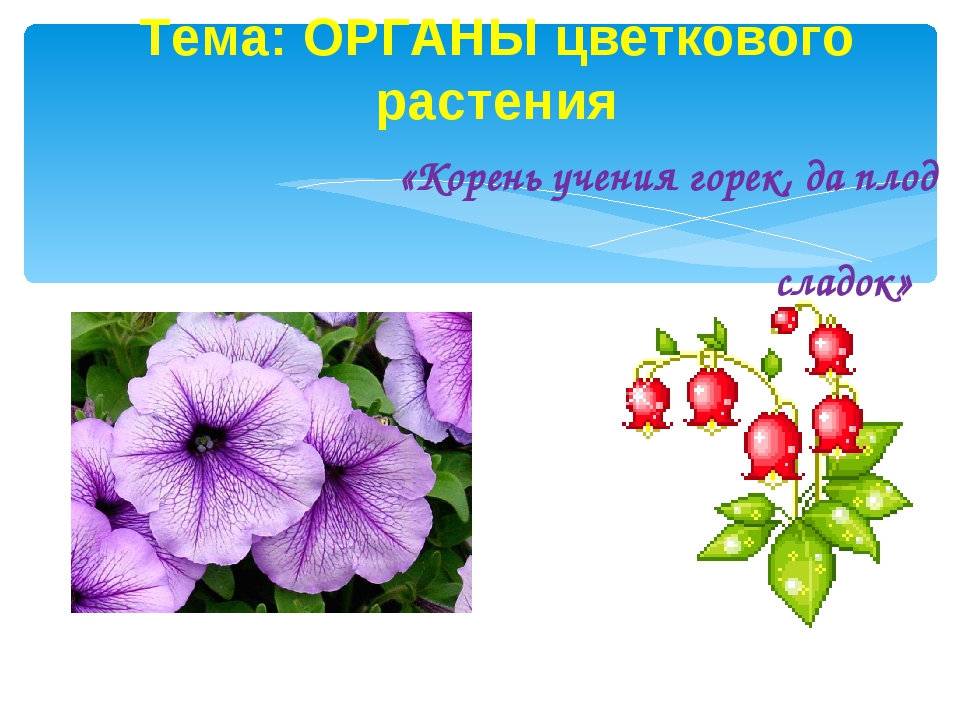 Тема: ОРГАНЫ цветкового растения «Корень учения горек, да плод сладок»